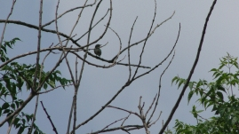 tickell flowerpecker captured at NCBS