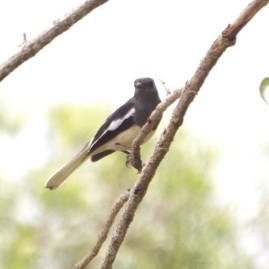 oriental-magpie-robin