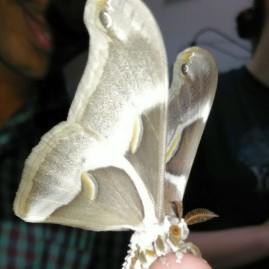 silk-moth